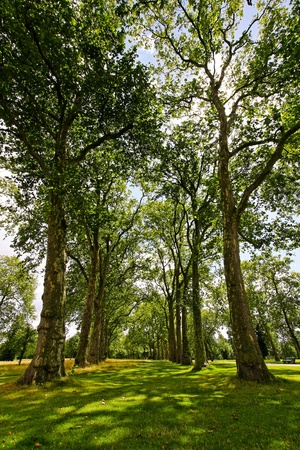 timberland: Tall deciduous trees in rows of Hyde Park