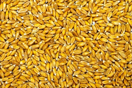 Bunch of natural organic whole wheat grain  Stock Photo - 9324107