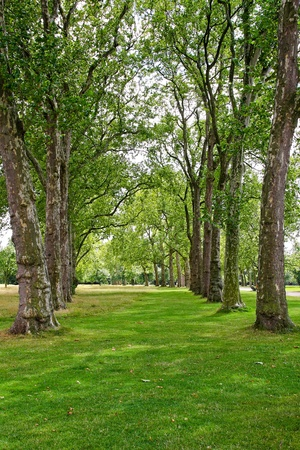 woodlands: Tall deciduous trees in rows of Hyde Park