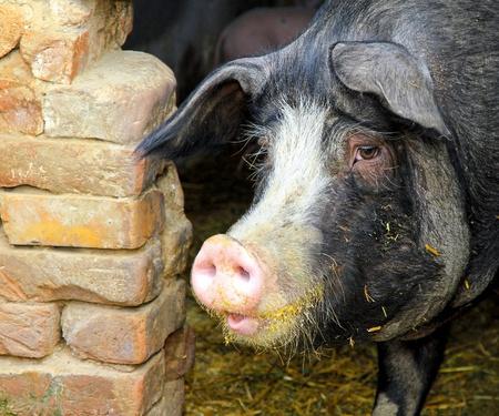 Big black domestic pig in pen at farm  photo