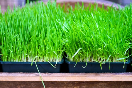 organically: Organically grown wheat grass ready for squeezing  Stock Photo