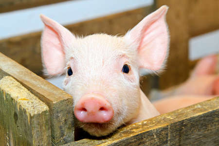 Small and funny pink piglet in pen  photo