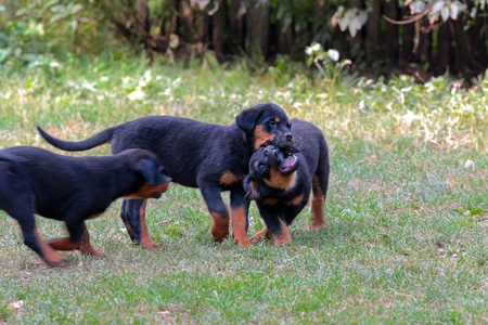 Rottweiler puppies playing together outside at lawn photo