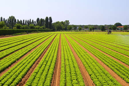 harvest field: Big agriculture field of green salad vegetables Stock Photo