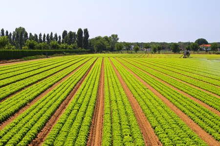 agricultura: Campo de agricultura grande de verduras de ensalada verde