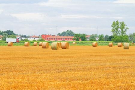 yellow  agriculture: Rolling Pajares en el campo de agricultura amarillo