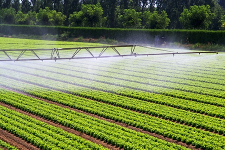 Water irrigation mist over green salad field Stock Photo