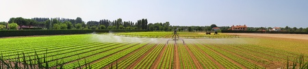 Salad field with water irrigation system panorama photo