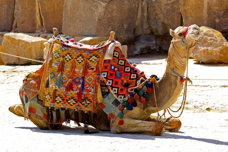 saddle camel: Camel sit with traditional Bedouin saddle in Egypt