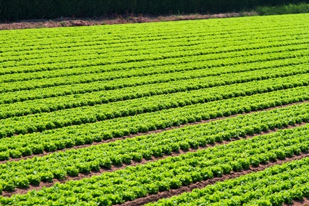 Organic salad at agriculture field in rows photo