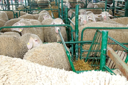 sheepfold: Sheep and ewe in pen at farm