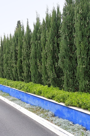 Conifer green trees at natural hedge wall Stock Photo - 20471733