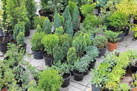 Evergreen decorative plants and seedlings nursery garden photo