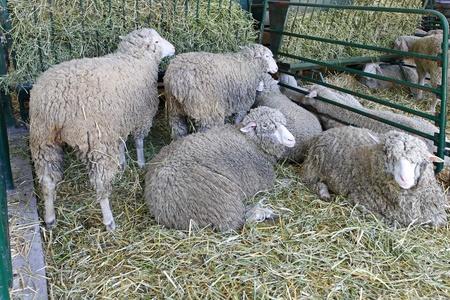 sheeps: Ewe sheeps laying in pen at farm