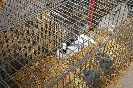 rabbit cage: Coniglio in gabbietta in fattoria Archivio Fotografico