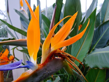 bird of paradise plant: Bird of Paradise tropical flower in botanical gardens Stock Photo