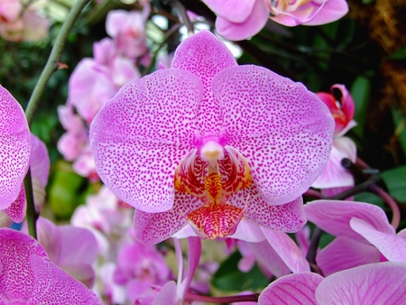 refinement: Pink orchid symbolize love passion and refinement