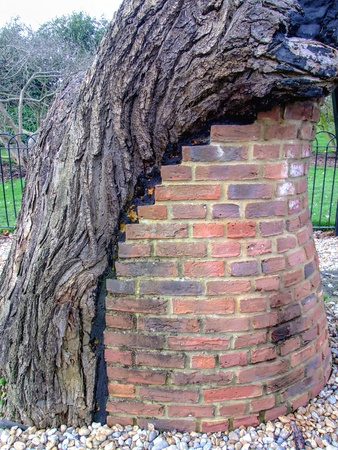 symbiosis: Old tree with brick column support symbiosis
