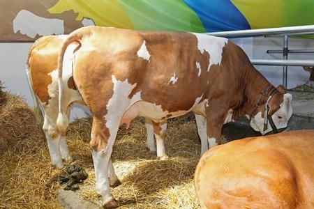teats: Big brown cows in barn at farm