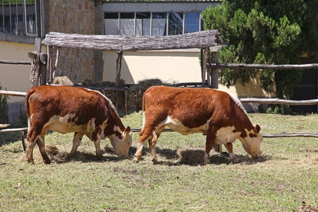 teats: Two cows grazing at outdoor farm