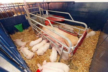 spanferkel: Hungry pigglets säugt säen in moderne Stift am Bauernhof