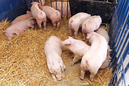 piglets: Small pigs in pen with straw at farm