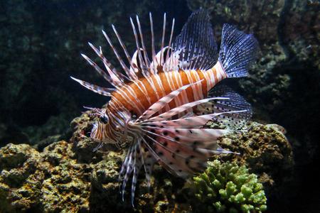 pterois: Venomous and dangerous Pterois lionfish near corals