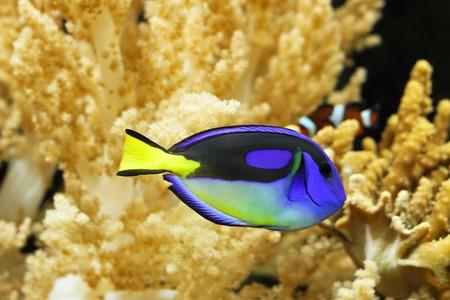 live coral: Blue regal tang fish in tropical aquarium