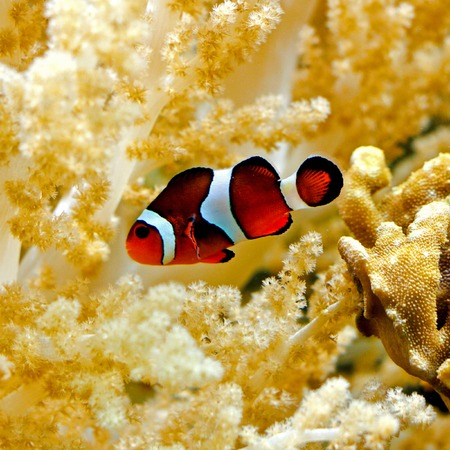 straps: Orange Percula clown fish in tropical aquarium