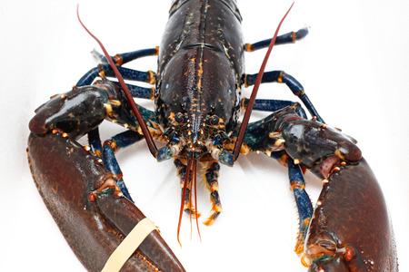 crustacean: Front view of live lobster crustacean