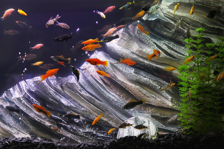 aquarium eau douce: Aquarium d'eau douce avec des poissons tropicaux et de plantes