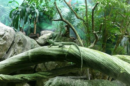 chameleon lizard: Green chameleon lizard in tropical forest