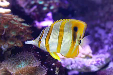 copperband: Beaked Copperband Butterfly coral fish in tropical water