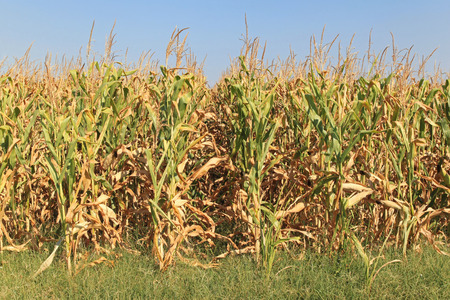 corn stalk: Rows of corn crops ready for harvest