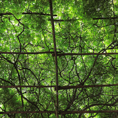 trellis: Big green canopy of cultivated grape vine trellis Stock Photo