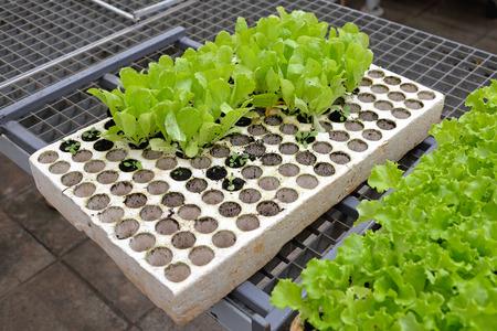 polystyrene: Salad seedling in polystyrene holder for hydroponics gardening Stock Photo
