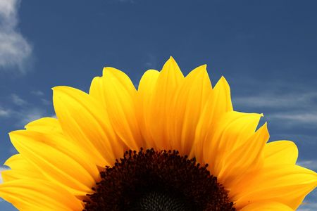 Rising sunflower on a blue sky Stock Photo - 1930582