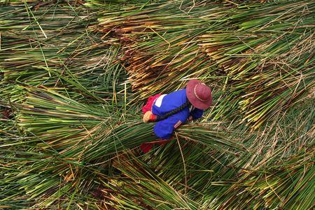 replenishing: A Native of Uros Island Replenishing the Reeds