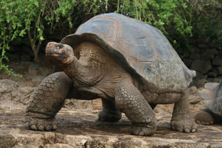 ecuador: Galapagos Giant Tortoise Stock Photo