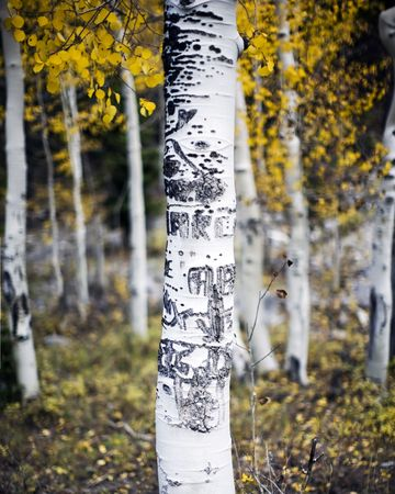 A lone Aspen tree in a forest of Aspen trees with carvings made by people on the bark and trunk of the tree in fall  photo
