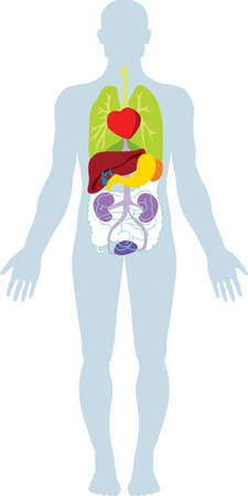 organi interni: Umani organi interni biologici. Vettoriali