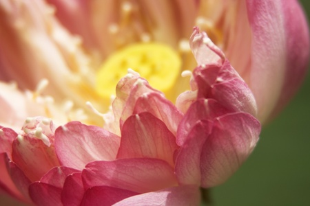 Close up of a lotus. Lotus is a symbol of pure and innocence in eastern culture.