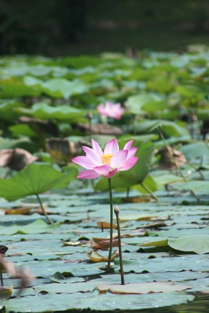A Lotus in a pond under bright sun light  Stock Photo