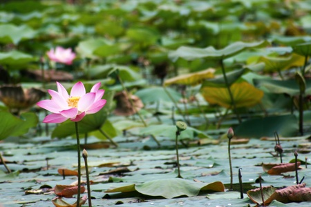 Lotus in a pond under bright sun light
