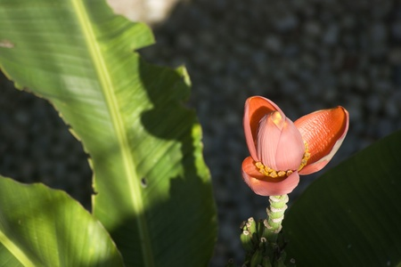 Flower of banana from top view