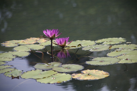 Side view of two Pink Water Lily found in garden  Stock Photo