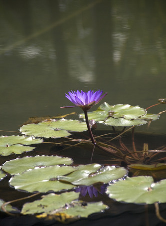 Side view of a Purple Water Lily found in garden