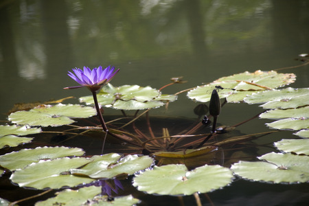 Side view of a Purple Water Lily and a dragonfly found in garden