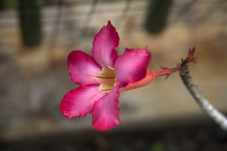 An Adenium obesum found in garden  Stock Photo - 25993997