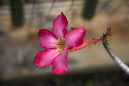 obesum: An Adenium obesum found in garden